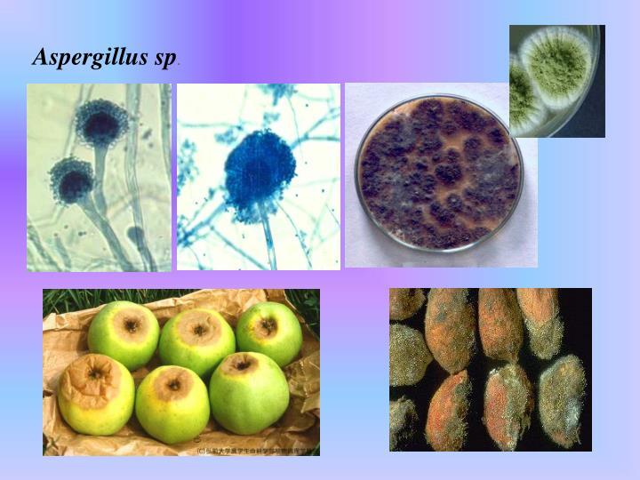 Aspergillus sp