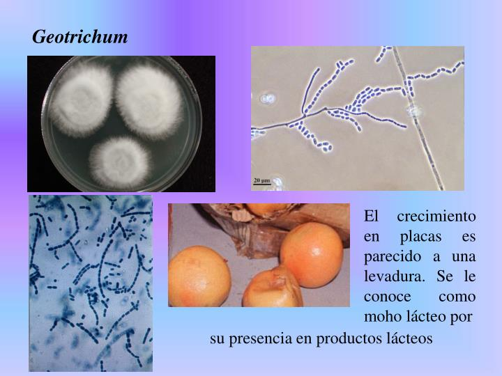 El crecimiento en placas es parecido a una levadura. Se le conoce como moho lácteo por