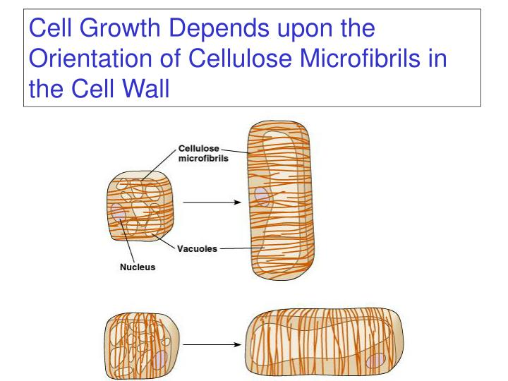 Cell Growth Depends upon the Orientation of Cellulose Microfibrils in the Cell Wall