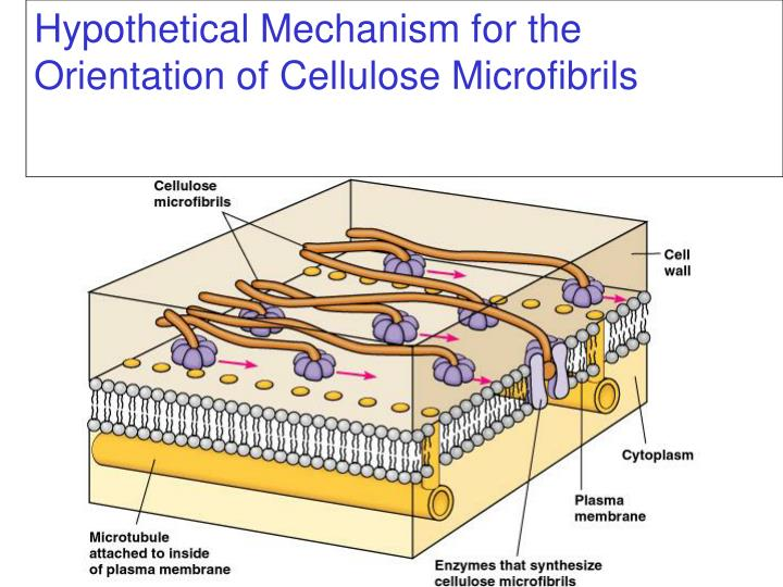 Hypothetical Mechanism for the Orientation of Cellulose Microfibrils