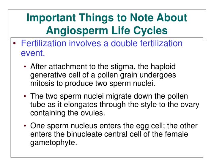 Fertilization involves a double fertilization event.