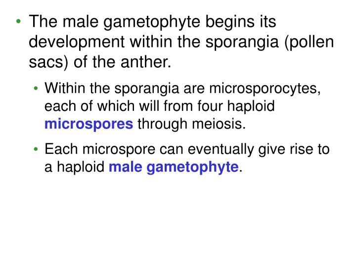 The male gametophyte begins its development within the sporangia (pollen sacs) of the anther.