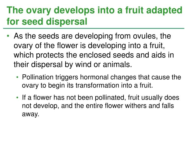 As the seeds are developing from ovules, the ovary of the flower is developing into a fruit, which protects the enclosed seeds and aids in their dispersal by wind or animals.