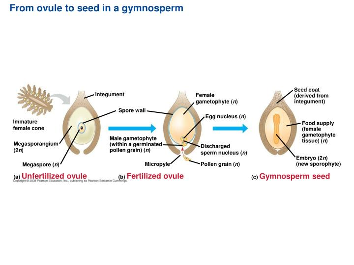 From ovule to seed in a gymnosperm