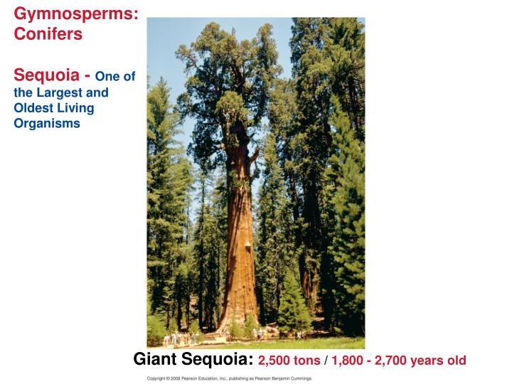 Gymnosperms:  Conifers