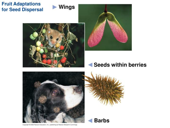 Fruit Adaptations for Seed Dispersal