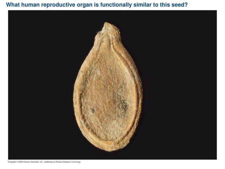 What human reproductive organ is functionally similar to this seed?