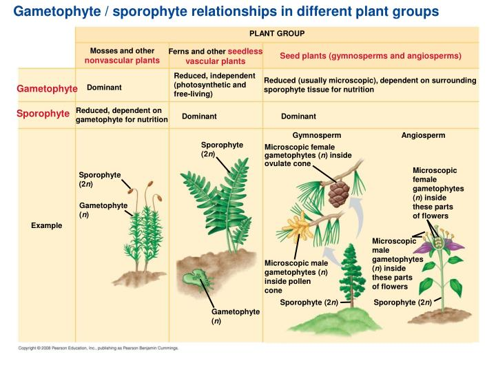 Gametophyte / sporophyte relationships in different plant groups