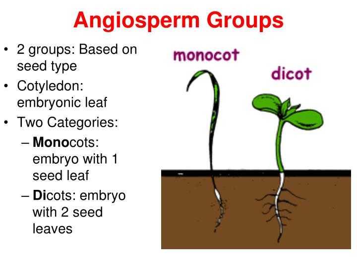 Angiosperm Groups