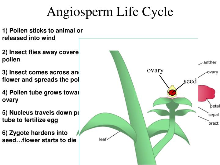 Angiosperm Life Cycle