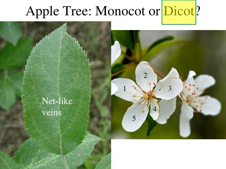 Apple Tree: Monocot or Dicot?