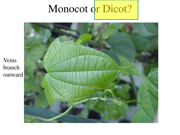 Monocot or Dicot?