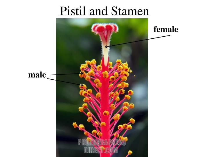 Pistil and Stamen