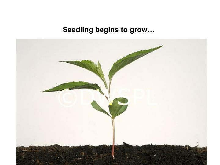 Seedling begins to grow…
