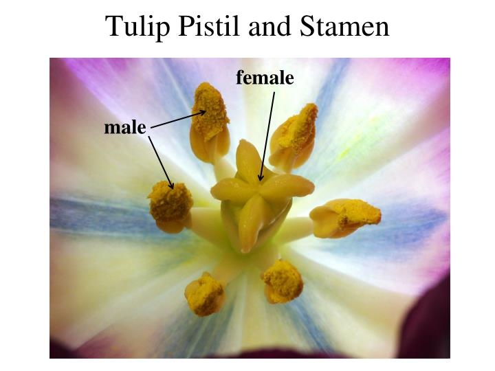 Tulip Pistil and Stamen