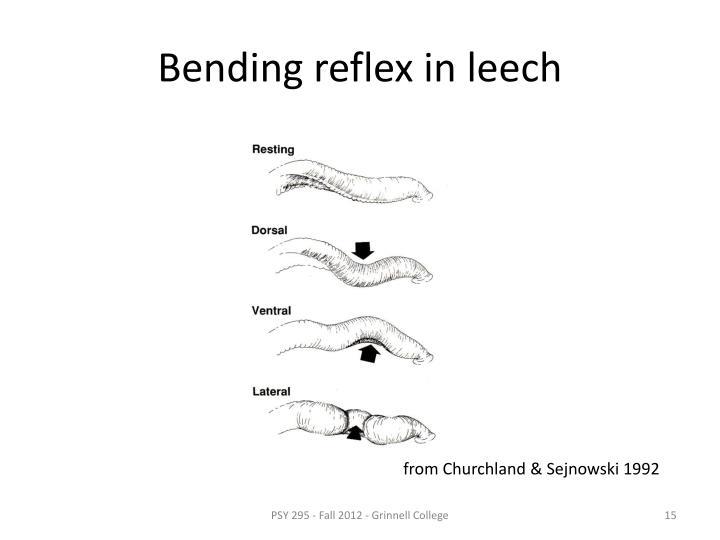 Bending reflex in leech