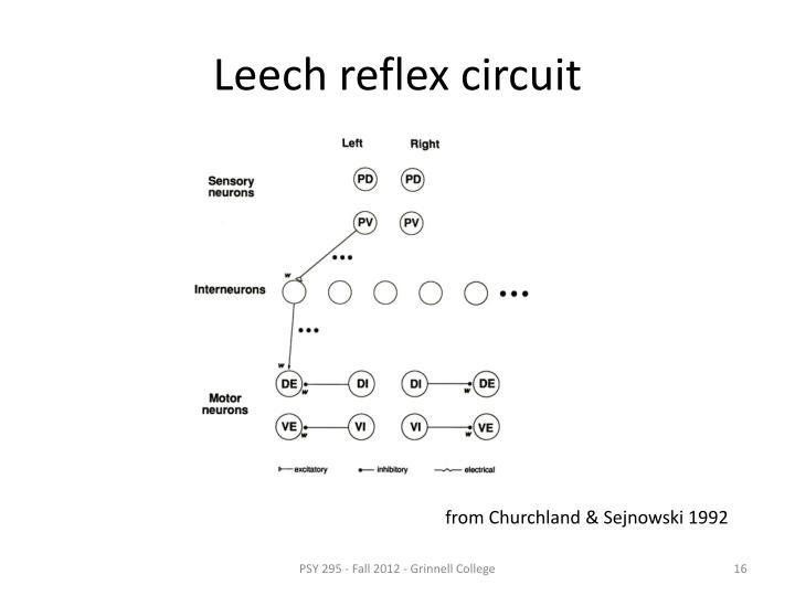 Leech reflex circuit