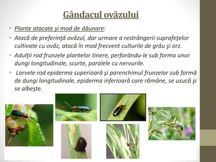 Gândacul ovăzului