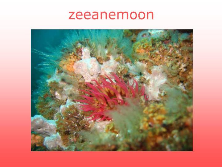 zeeanemoon