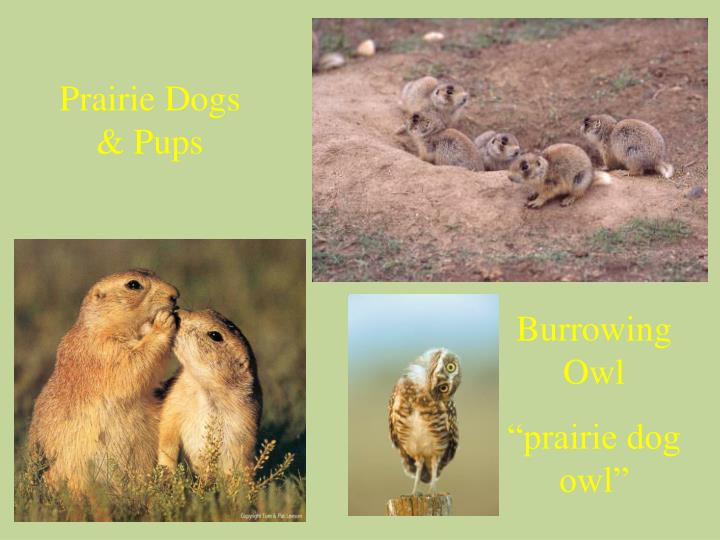 Prairie Dogs & Pups