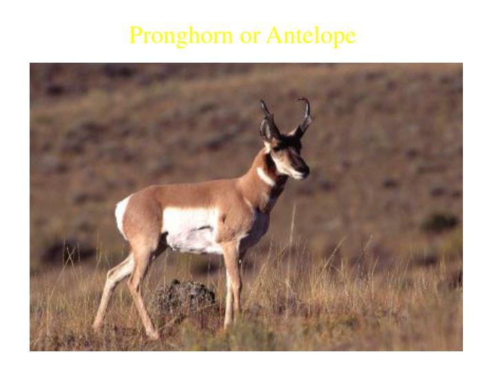 Pronghorn or Antelope