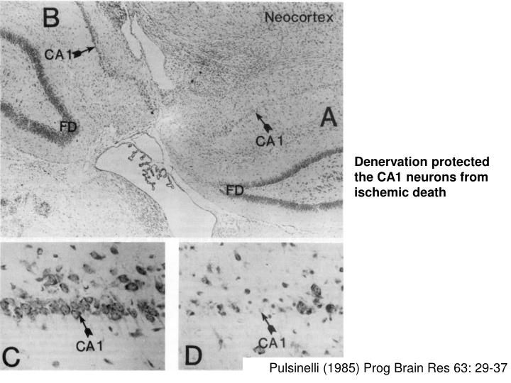 Denervation protected the CA1 neurons from ischemic death