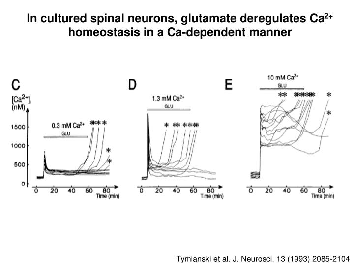 In cultured spinal neurons, glutamate deregulates Ca
