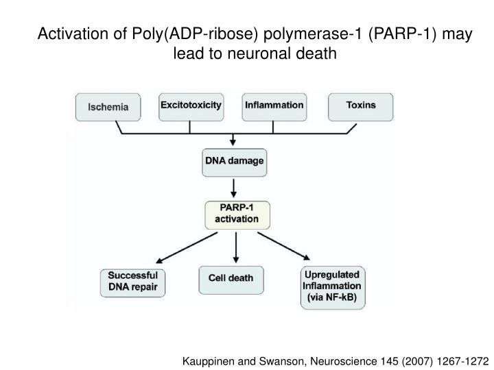 Activation of Poly(ADP-ribose) polymerase-1 (PARP-1) may lead to neuronal death