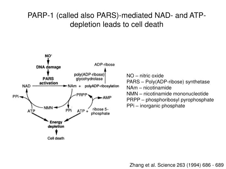 PARP-1 (called also PARS)-mediated NAD- and ATP-depletion leads to cell death