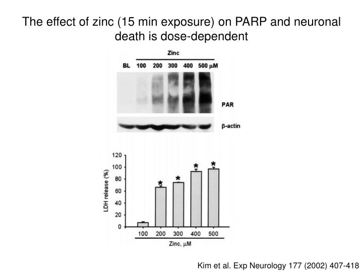 The effect of zinc (15 min exposure) on PARP and neuronal death is dose-dependent