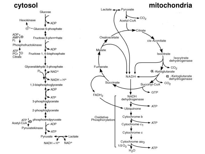 cytosol