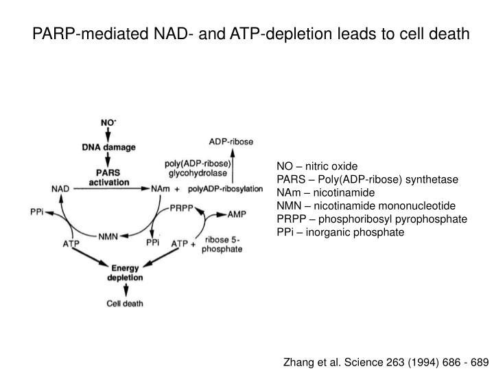 PARP-mediated NAD- and ATP-depletion leads to cell death