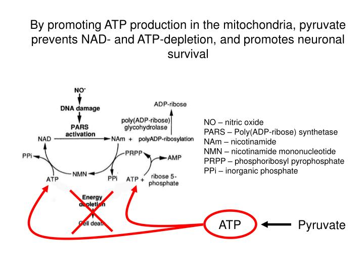 By promoting ATP production in the mitochondria, pyruvate prevents NAD- and ATP-depletion, and promotes neuronal survival