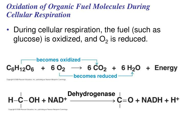 Oxidation of Organic Fuel Molecules During Cellular Respiration