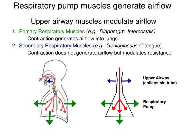 Respiratory pump muscles generate airflow