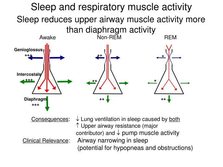 Sleep and respiratory muscle activity