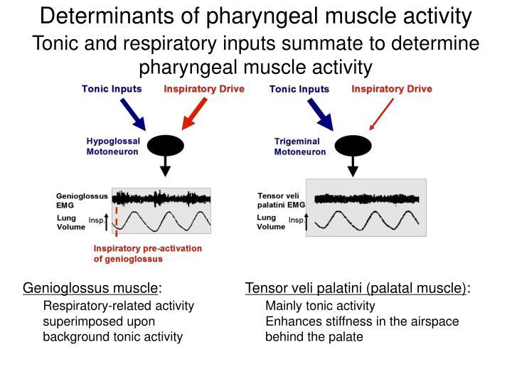 Determinants of pharyngeal muscle activity