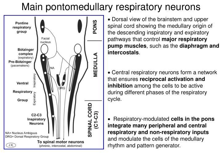 Main pontomedullary respiratory neurons