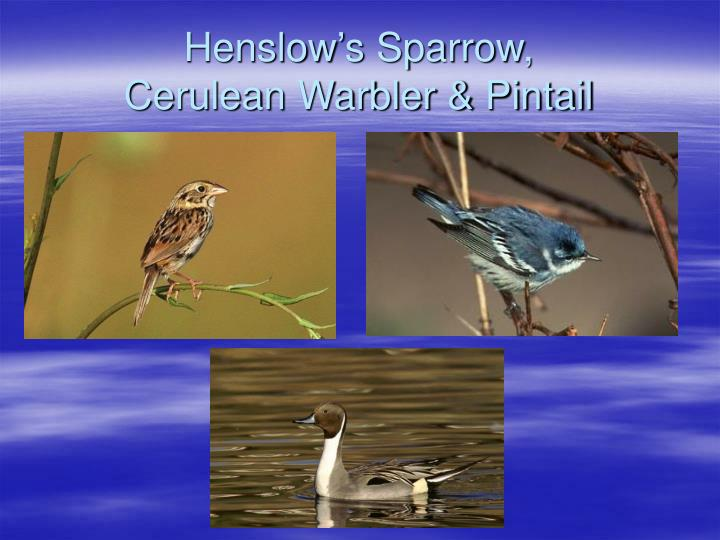 Henslow's Sparrow,
