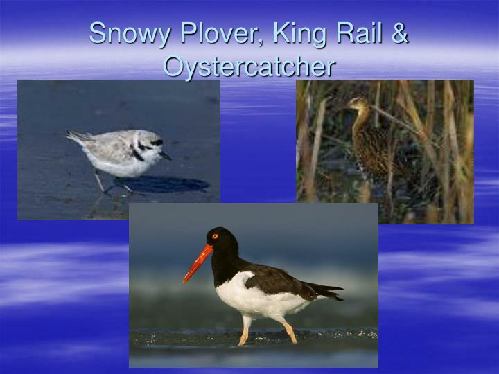 Snowy Plover, King Rail & Oystercatcher