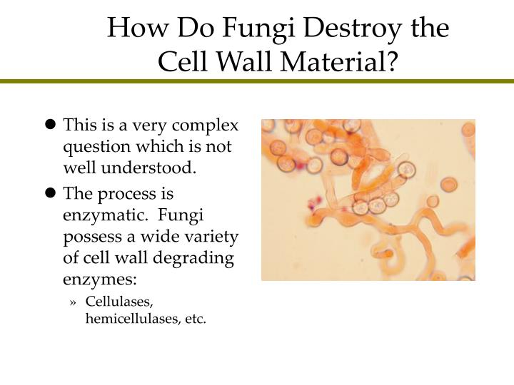 How Do Fungi Destroy the Cell Wall Material?