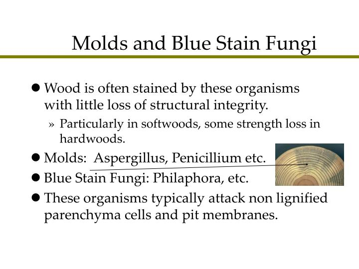 Molds and Blue Stain Fungi