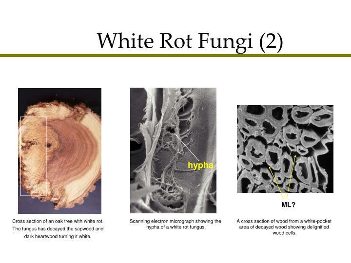 White Rot Fungi (2)