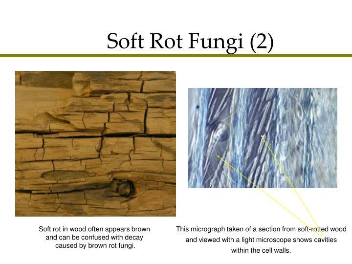 Soft Rot Fungi (2)