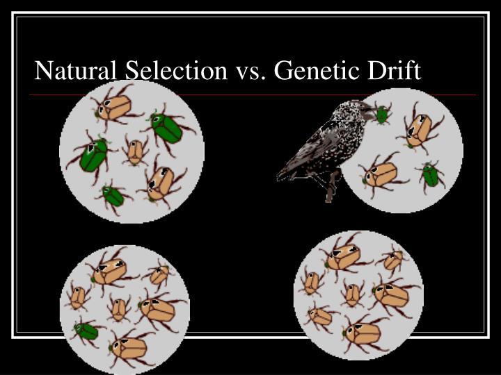 Natural Selection vs. Genetic Drift