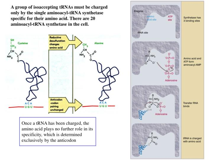A group of isoaccepting tRNAs must be charged only by the single aminoacyl-tRNA synthetase specific for their amino acid. There are 20 aminoacyl-tRNA synthetase in the cell.