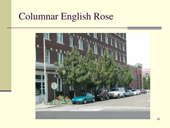 Columnar English Rose
