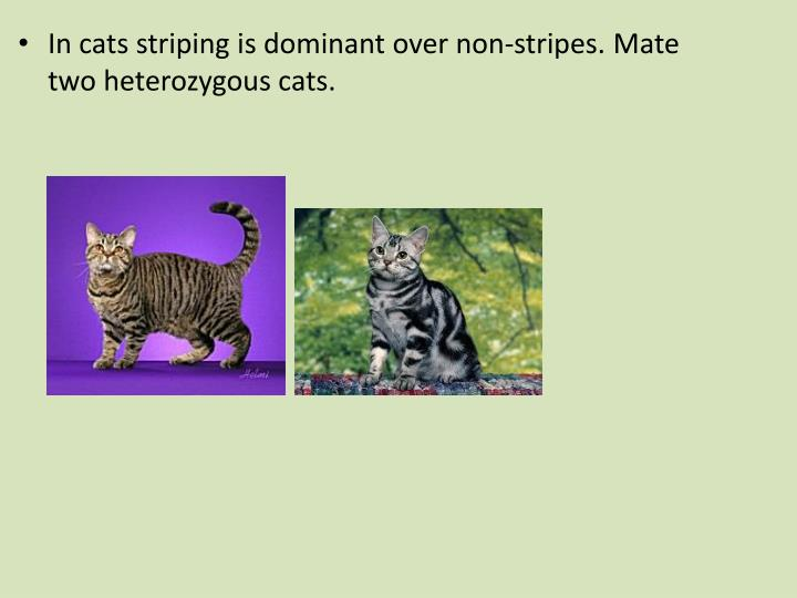 In cats striping is dominant over non-stripes. Mate two heterozygous cats.