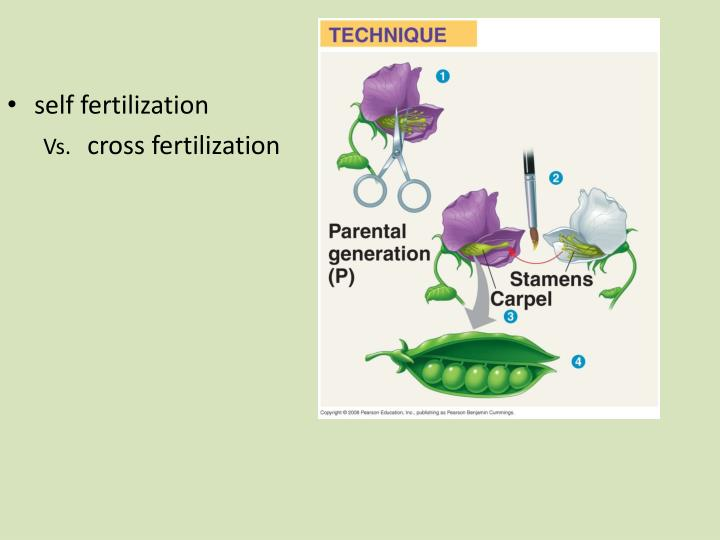 self fertilization