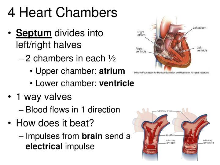 4 Heart Chambers